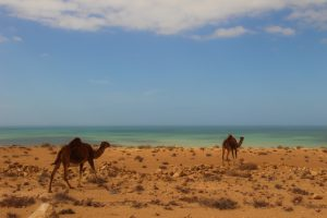 Camels in the desert next to the Atlantic Ocean